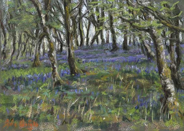 Bluebells amongst moss covered birch trees